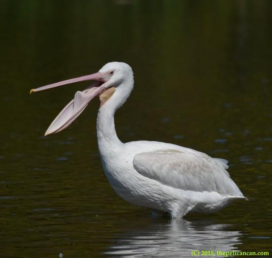 Juvenile American white pelican (Pelecanus erythrorhynchos) performs a gular flutter at White Rock Lake in Dallas, TX