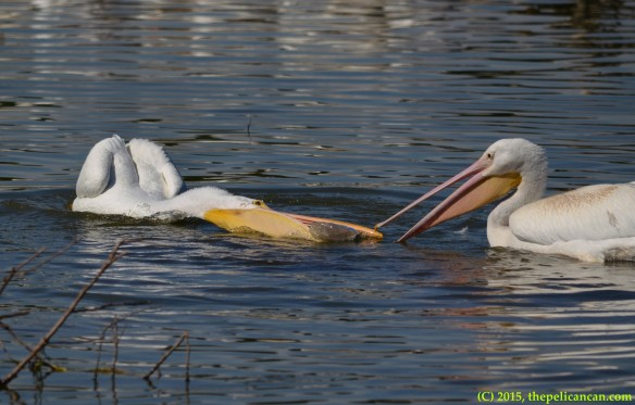 Two American white pelicans (Pelecanus erythrorhynchos) swabble over a water bottle in play at White Rock Lake in Dallas, TX