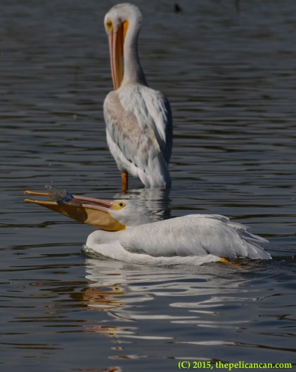 American white pelican (Pelecanus erythrorhynchos) plays with a water bottle at White Rock Lake in Dallas, TX