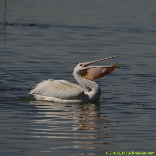 Juvenile American white pelican (Pelecanus erythrorhynchos) plays with a water bottle at White Rock Lake in Dallas, TX