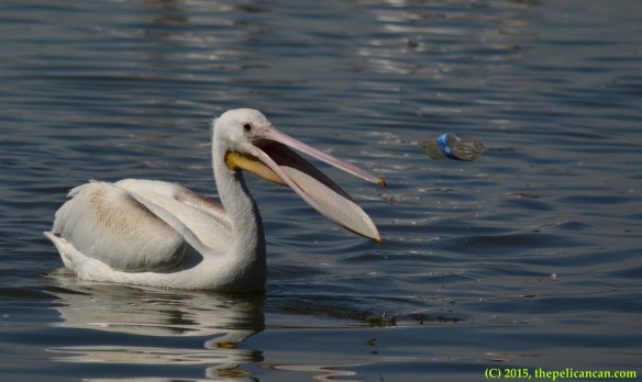 Juvenile American white pelican (Pelecanus erythrorhynchos) plays with a water bottle by tossing it in the air at White Rock Lake in Dallas, TX