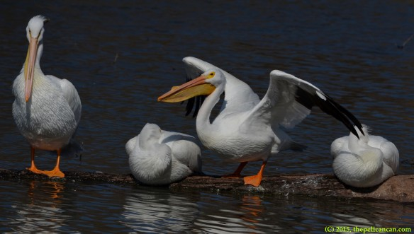 American white pelican (Pelecanus erythrorhynchos) prepares to take off from a log at White Rock Lake in Dallas, TX