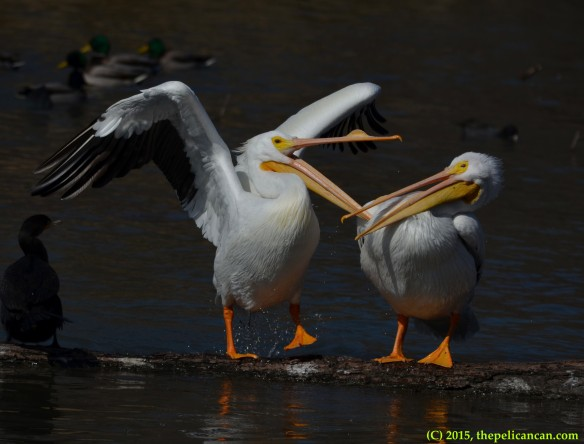 American white pelican (Pelecanus erythrorhynchos) jumps onto a log and tries to attack another pelican at White Rock Lake in Dallas, TX
