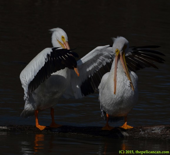 American white pelican (Pelecanus erythrorhynchos) flaps her wings on a log next to another pelican at White Rock Lake in Dallas, TX
