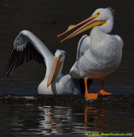 American white pelican (Pelecanus erythrorhynchos) prepares to jump on a log next to another pelican at White Rock Lake in Dallas, TX