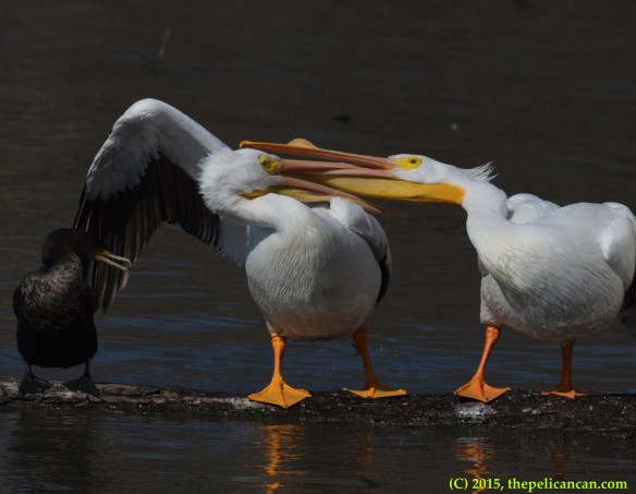 Two American white pelicans (Pelecanus erythrorhynchos) fight while a neotropic cormorant (Phalacrocorax brasilianus) gapes at White Rock Lake in Dallas, TX