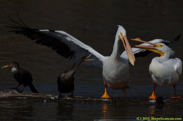 American white pelican (Pelecanus erythrorhynchos) loses her balance during a fight with another pelican and a neotropic cormorant (Phalacrocorax brasilianus) at White Rock Lake in Dallas, TX