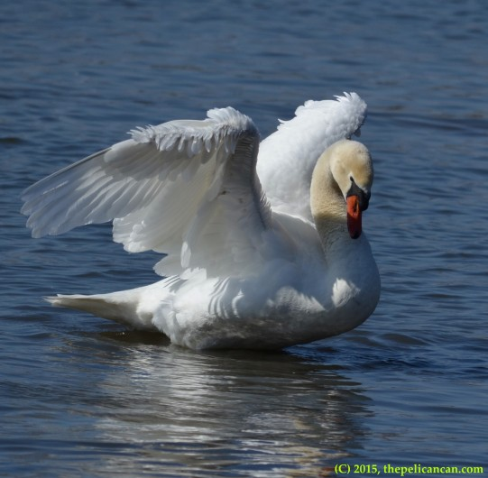 Mute swan (Cygnus olor) lowers herself down onto the water after flapping her wings at White Rock Lake in Dallas, TX
