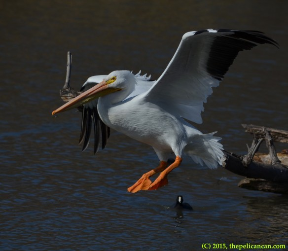 American white pelican (Pelecanus erythrorhynchos) in flight at White Rock Lake in Dallas, TX
