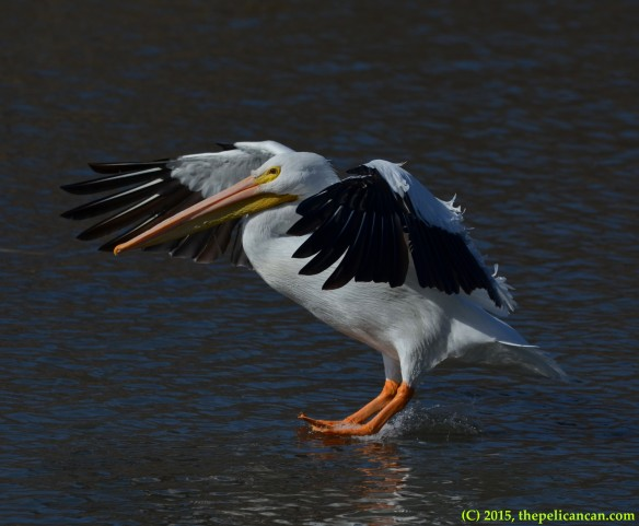 American white pelican (Pelecanus erythrorhynchos) lands on water after a short flight at White Rock Lake in Dallas, TX