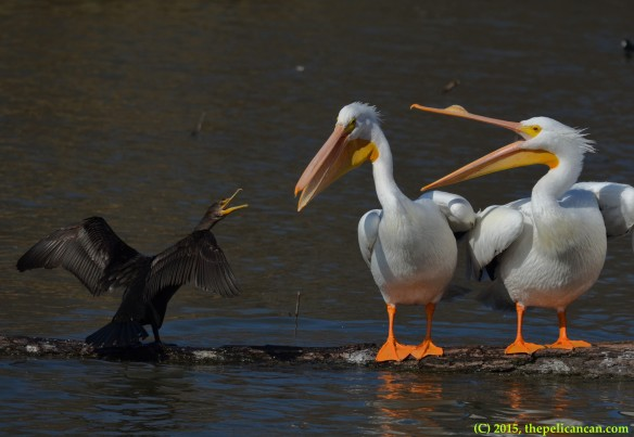 American white pelicans (Pelecanus erythrorhynchos) squabble with a double-crested cormorant (Phalacrocorax auritus) at White Rock Lake in Dallas, TX