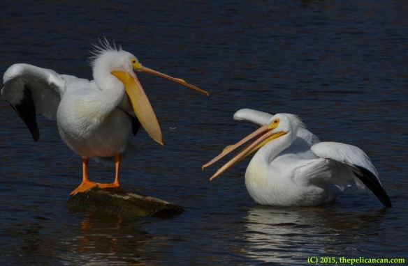 Two American white pelicans (Pelecanus erythrorhynchos) gape at each other in anticipation of fighting at White Rock Lake in Dallas, TX