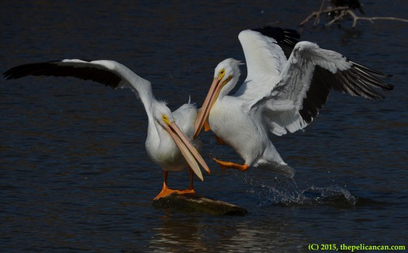 American white pelican (Pelecanus erythrorhynchos) attempts to knock another pelican off of a loafing log at White Rock Lake in Dallas, TX