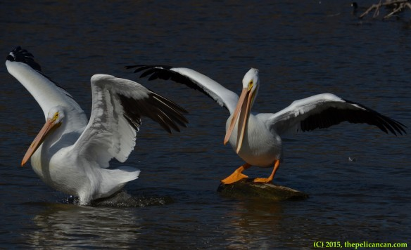 American white pelican (Pelecanus erythrorhynchos) climbs onto a loafing log after knocking another pelican from it at White Rock Lake in Dallas, TX