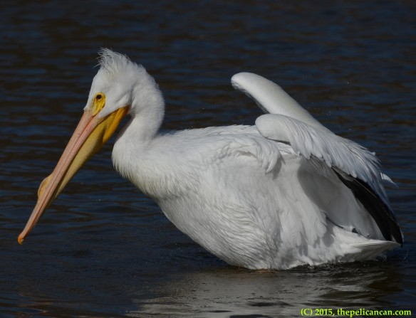 American white pelican (Pelecanus erythrorhynchos) finishes a rouse at White Rock Lake in Dallas, TX