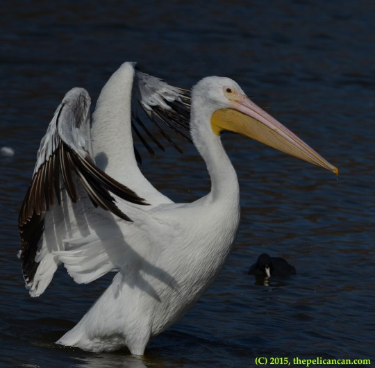 Juvenile American white pelican (Pelecanus erythrorhynchos) flaps her wings at White Rock Lake in Dallas, TX