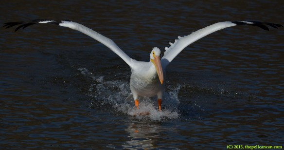 American white pelican (Pelecanus erythrorhynchos) lands on water after a flight at White Rock Lake in Dallas, TX