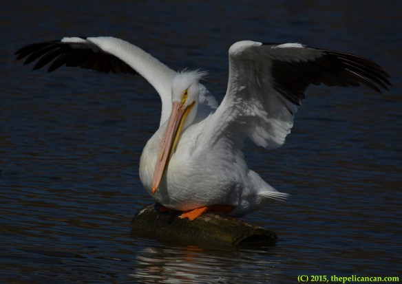 American white pelican (Pelecanus erythrorhynchos) sits down with her wings up at White Rock Lake in Dallas, TX