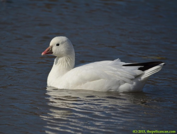 Ross's goose (Anser rossii) swims in the water at White Rock Lake in Dallas, TX