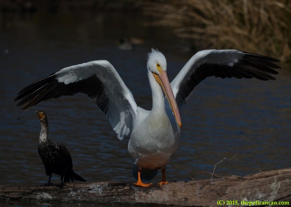 American white pelican (Pelecanus erythrorhynchos) stands on a log next to a neotropic cormorant (Phalacrocorax brasilianus) at White Rock Lake in Dallas, TX