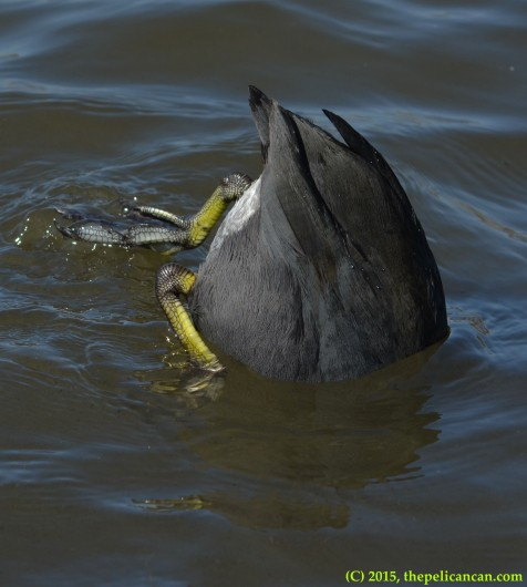 American coot (Fulica americana) upends to look for food at White Rock Lake in Dallas, TX