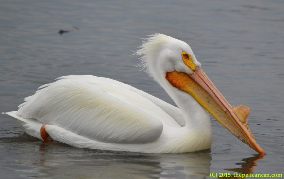 American white pelican (Pelecanus erythrorhynchos) in breeding plumage swims at White Rock Lake in Dallas, TX