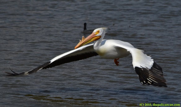 American white pelican (Pelecanus erythrorhynchos) in breeding plumage flying at White Rock Lake in Dallas, TX