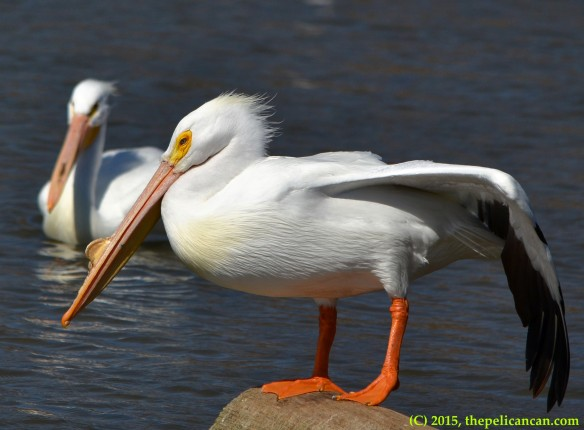 American white pelican (Pelecanus erythrorhynchos) in breeding plumage stretches her wing while loafing on a log at White Rock Lake in Dallas, TX