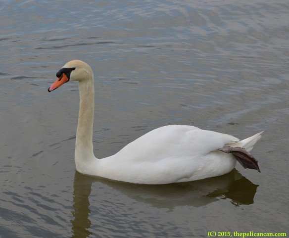 Lady Katherine the mute swan (Cygnus olor) floating with her foot sticking out at White Rock Lake in Dallas, TX