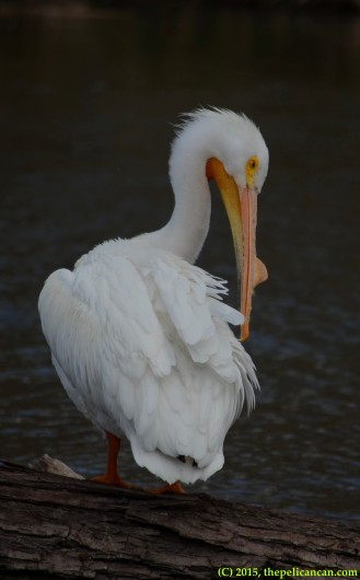American white pelican (Pelecanus erythrorhynchos) preens while standing on a log at White Rock Lake in Dallas, TX