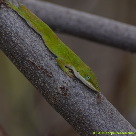 Carolina anole (Anolis carolinensis) relaxing in Dallas, TX