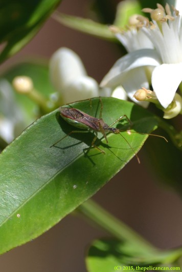 Assassin bug (Zelus luridus) on a citrus leaf in Dallas, TX
