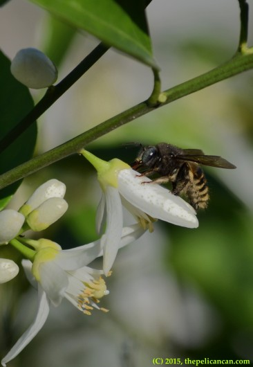 Carpenter bee (Xylocopa tabaniformis) on a citrus blossom in Dallas, TX