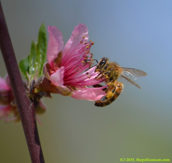 Honeybee plundering a peach blossom for pollen in Dallas, TX