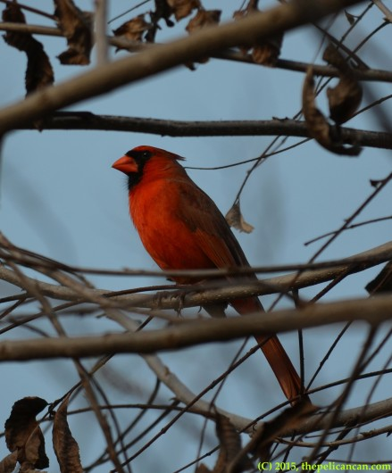 Male Northern Cardinal (Cardinalis cardinalis) on a pecan branch in Dallas, TX