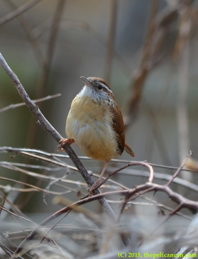 Carolina wren (Thryothorus ludovicianus) poses on a stick in Dallas, TX