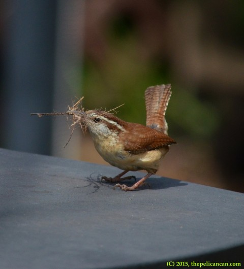 Carolina wren (Thryothorus ludovicianus) arrives at a nest inside of a grill with nesting material in Dallas, TX