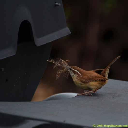 Carolina wren (Thryothorus ludovicianus) arrives at a nest inside of a grill with nesting material in Dallas, TX[