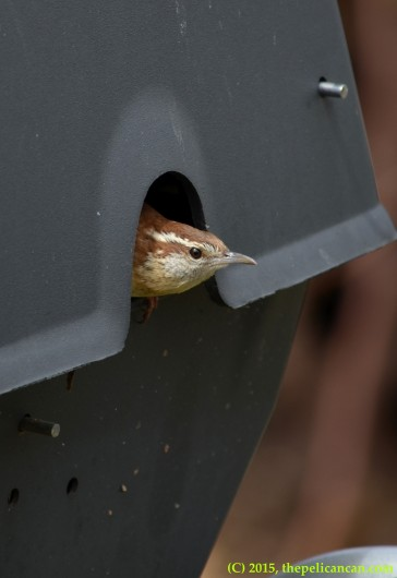 Carolina Wren (Thryothorus ludovicianus) peeks its head out of a grill where it is building a nest in Dallas, TX
