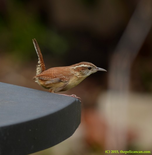 Carolina wren (Thryothorus ludovicianus) pauses before flying away to look for nesting materials in Dallas, TX
