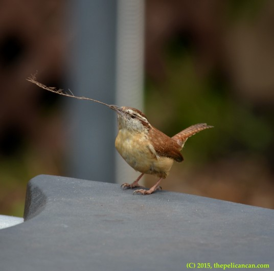 Carolina wren (Thryothorus ludovicianus) holds a piece of nesting material in Dallas, TX