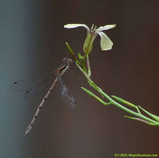Unidentified damselfly (possibly spreadwing) clings to an arugula bloom in Dallas, TX