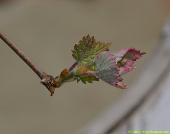 Emerging grape (Vitus) leaves in Dallas, TX