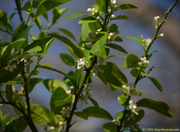 Key lime (Citrus aurantifolia) blossoms in Dallas, TX