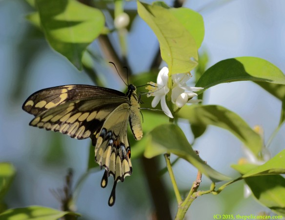 Giant swallowtail butterfly (Papilio cresphontes) drinking nectar from citrus blooms in Dallas, TX