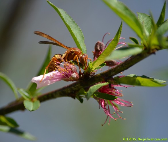 Wasp (Polistes bellicosus) investigating a peach blossom in Dallas, TX