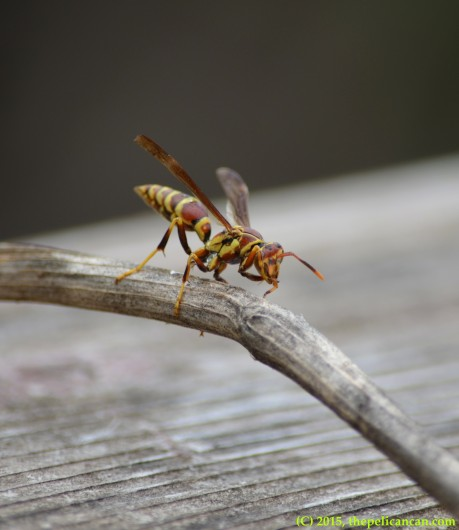 Wasp (Polistes bellicosus) cleaning itself in Dallas, TX