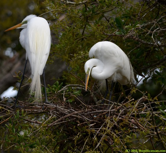 A pair of great egrets together at their nest at the rookery at the St. Augustine Alligator Farm in St. Augustine, FL
