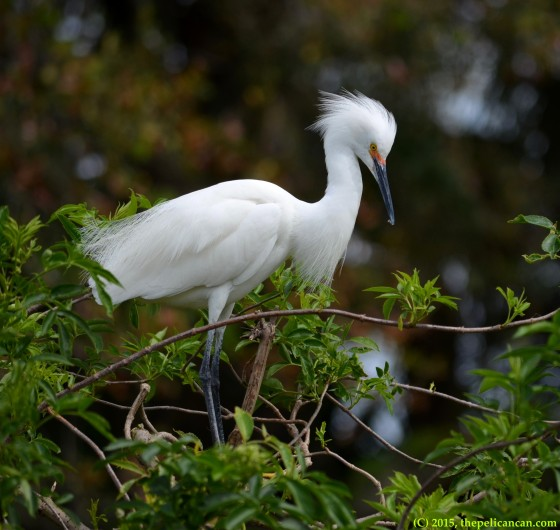 Male snowy egret (Egretta thula) at the rookery at the St. Augustine Alligator Farm in St. Augustine, FL