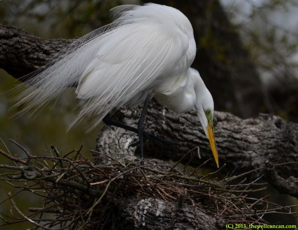 Great egret (Ardea alba) scratches an itch at the rookery at the St. Augustine Alligator Farm in St. AUgustine, FL